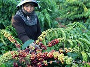 Vietnam's coffee exports jump to record high of 1.8 million tonnes