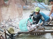 Mekong Delta uses high-tech methods to raise tra fish