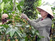 Vietnam expects to export 1.7 mln tonnes of coffee this year