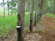 Thailand approves subsidy scheme for rubber farmers