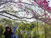 Cherry blossom festival to return to Pa Khoang, Dien Bien