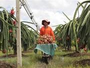 Binh Thuan: Over 30 percent of dragonfruit land under VietGap