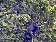 Seminar spotlights conservation of rare langur in Quang Nam