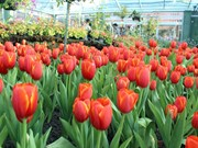 Chiang Mai's tulips in full bloom during New Year holiday