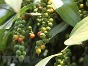 Pepper export value drops under 1 billion USD