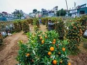 Ornamental plant growers rush towards Lunar New Year