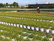 Ornamental flower farmers gain different crops this Tet