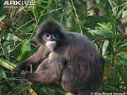 Two rare langurs killed in Pu Mat National Park