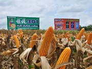 Thailand becomes world's No 1 exporter of sweet corns