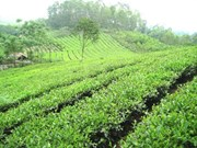 Thai Nguyen moves to preserve Tan Cuong tea
