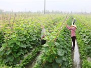 VietGAP certificates given to 81,500 hectares of crops