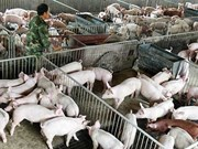 Preparations made to cope with swine fever