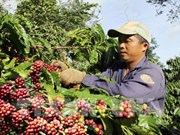 Free coffee for visitors at Buon Ma Thuot coffee festival
