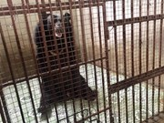 Two caged bears in Binh Duong rescued