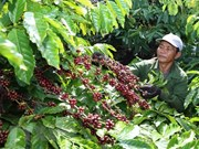 Coffee firms should focus on deep processing: insiders