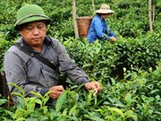 Ethnic farmers grow valuable tea in remote mountains