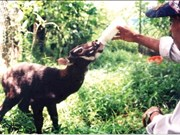 Agriculture ministry, IUCN work to protect saola