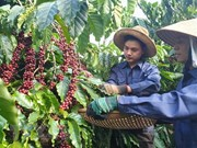 Sustainable coffee production project benefits Lam Dong farmers