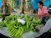 Banana to become Laos' major agricultural export