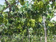 Ninh Thuan to link grape growing to sustainable practices