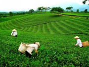 Tea industry needs to focus on quality