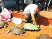Quang Nam to release seven rare turtles back to nature