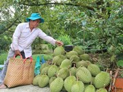 Mekong Delta fruit farmers enjoy bumper harvest, high prices