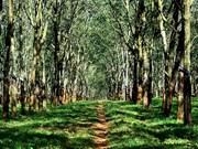 Vietnam Rubber Group plans FSC certification for rubber forests