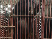 Nghe An: Three bears sent to Ninh Binh bear protection centre