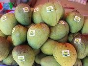 Son La mangoes exported to demanding markets