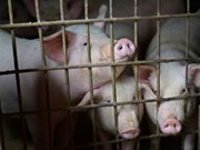 Thailand takes measures to prevent African swine fever