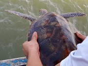 Fisherman releases rare turtle into ocean