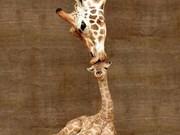 Thailand: Khao Kheow Open Zoo welcomes newborn baby giraffe