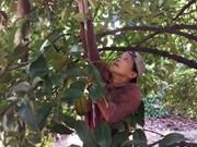Farmers in Binh Duong see bumper mangosteen harvest