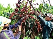 Vietnam's coffee exports plummet as robusta prices fall