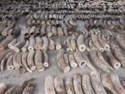 Singapore seizes record haul of illegal ivory
