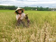 Drought destroys crops in central Nghe An province