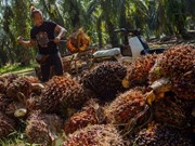 Thailand sets guaranteed palm oil price