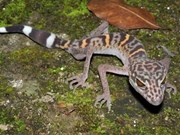 145 new species discovered in Greater Mekong Region