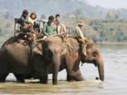 Tame elephants face extinction