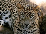 Three endangered leopards discovered in Lam Dong