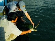 Rare hawksbill turtle released in Binh Dinh