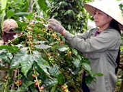 Vietnam –new King of Coffee