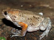New narrow-mouthed frog species found in Vietnam