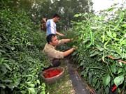 Chili planters enjoy record price