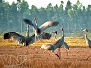 Red-headed cranes flock back to Dong Thap