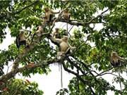 Vietnam boasts highest number of Tokin snub-nosed monkeys