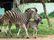 Dai Nam zoo welcomes newborn zebra