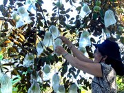 Mekong Delta expands fruit growing area