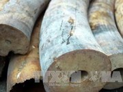 Ho Chi Minh City seizes 4.2 kg of elephant tusks
